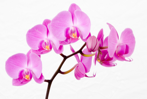 Фото обои Ветка розовой орхидеи (flowers-0000302)