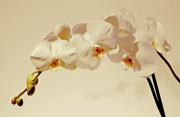 Цветочные обои Ветка белой орхидеи (flowers-0000449)