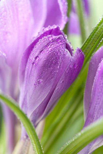 Фото обои цветок крокус (flowers-0000568)
