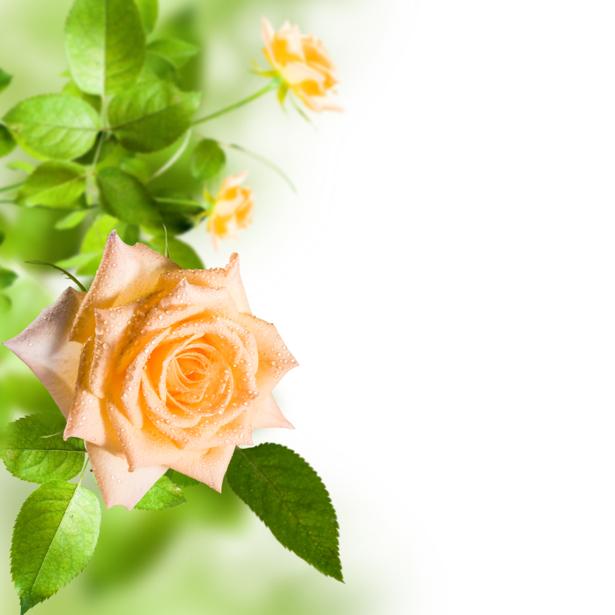 Обои фото кремовая роза с каплями росы (flowers-0000573)