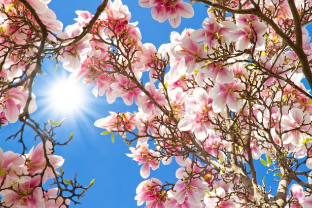 Фото обои для стен розовая магнолия (flowers-0000624)