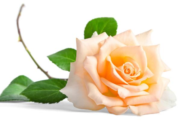 Фотообои кремовая роза (flowers-756)