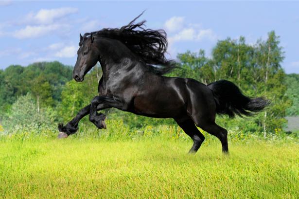Фотообои черный конь в поле (animals-0000044)