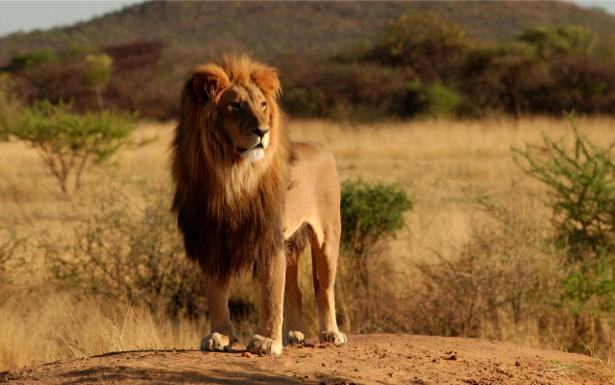 Фотообои лев, львица дикая природа (animals-0000056)