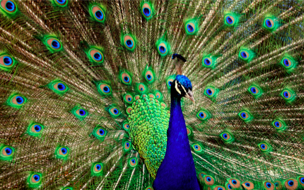 Фотообои павлин с хвостом (animals-0000060)