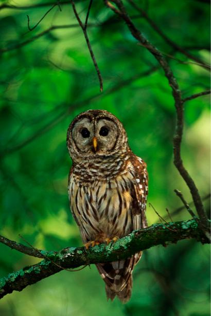 Фотообои сова в лесу (animals-0000115)