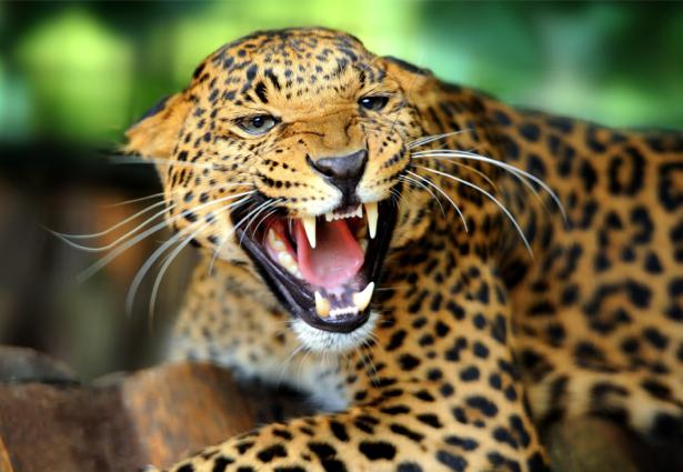 Фотообои улыбка леопарда (animals-0000310)