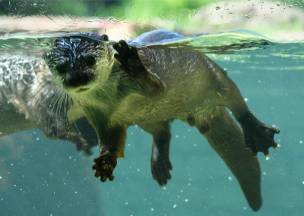 Фотообои выдра в воде (animals-0000344)