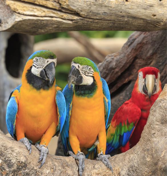 Фотообои попугаи ара (animals-0000490)