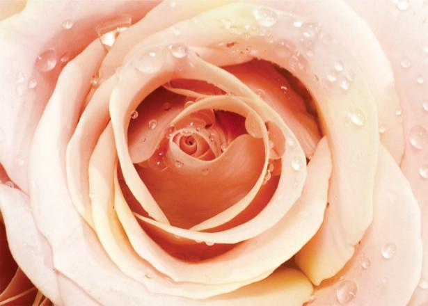 Кремовая роза обои на стену с цветами (flowers-0000066)