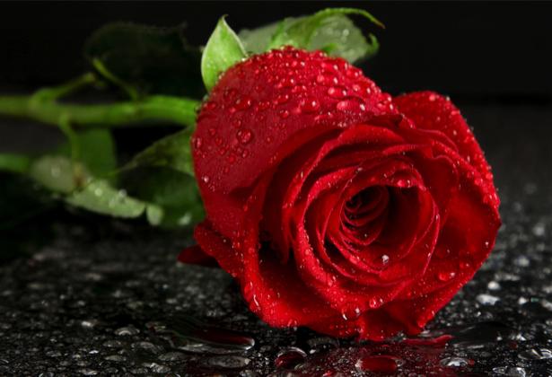 Красивые цветы фото обои Алая, красная роза (flowers-0000084)