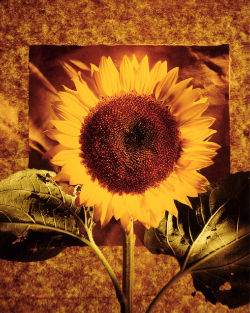 Фотообои на стену цветы -  Подсолнух (flowers-0000189)
