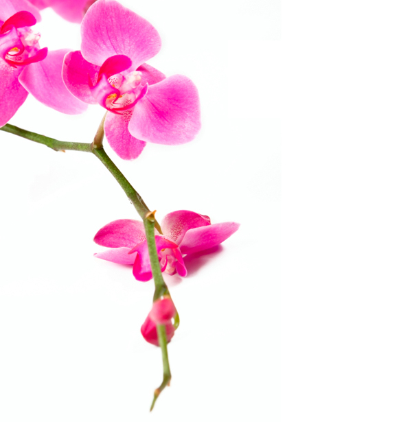 Красивые цветы фотообои Ветка розовой орхидеи (flowers-0000235)