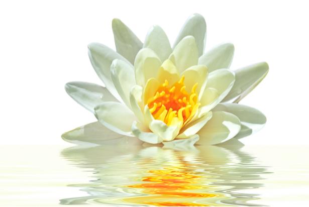 Водяная лилия белая фото обои цветы (flowers-0000241)