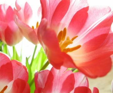 Обои фото Красные тюльпаны (flowers-0000340)