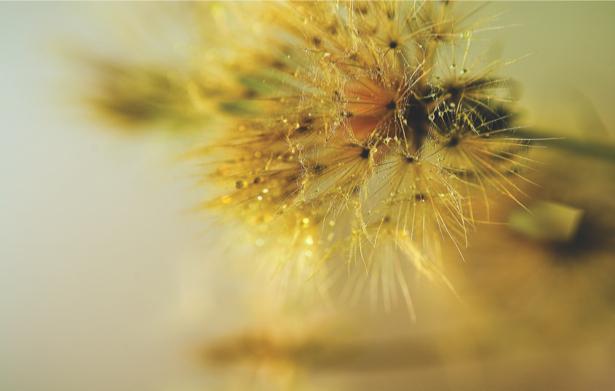 Фотообои на стену цветок - Одуванчик (flowers-0000353)