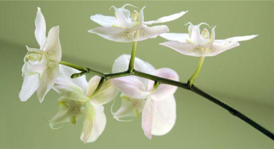 Фото обои на стену ветка орхидеи (flowers-0000370)