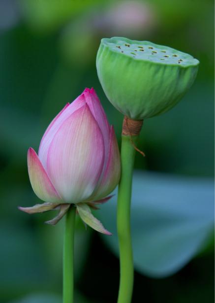 Фотообои на стену цветок - лилия розовая (flowers-0000374)
