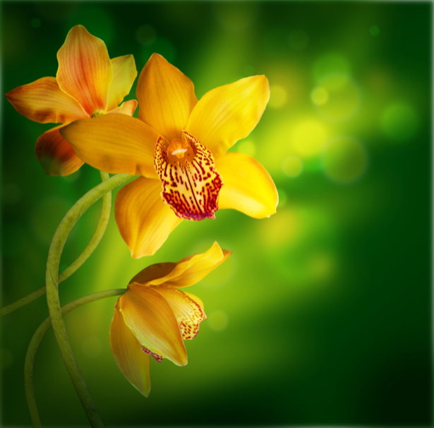 Желтые орхидеи - Фото обои на стену (flowers-0000392)