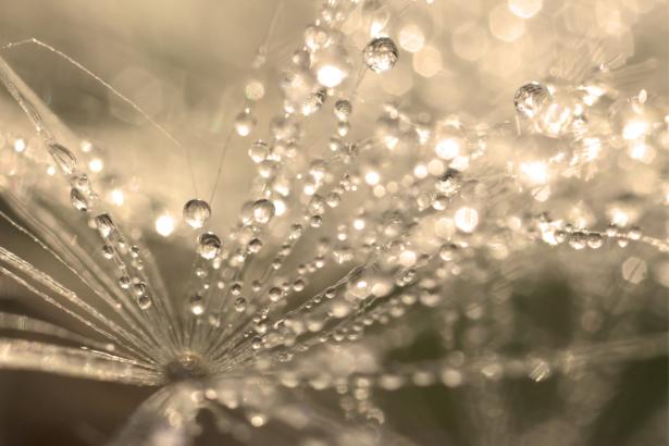 Фотообои одуванчик с каплями дождя (flowers-0000737)