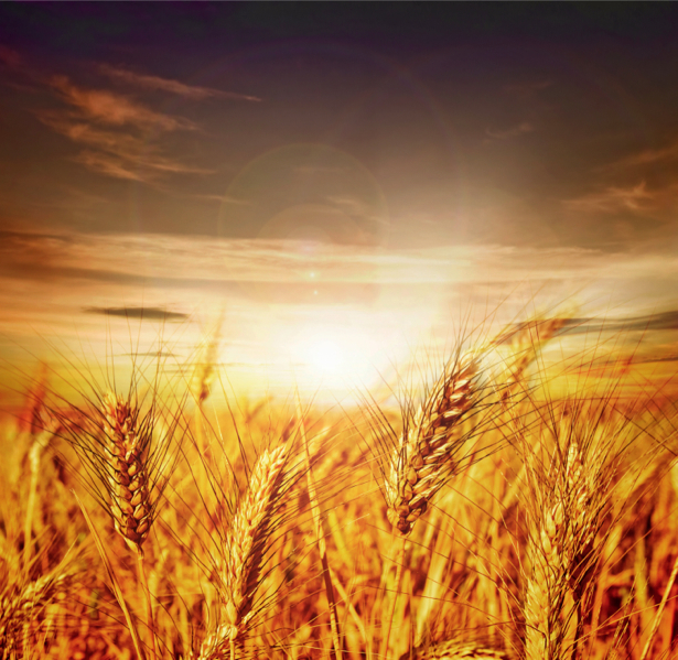 Фотообои пшеничное поле на закате (nature-00295)